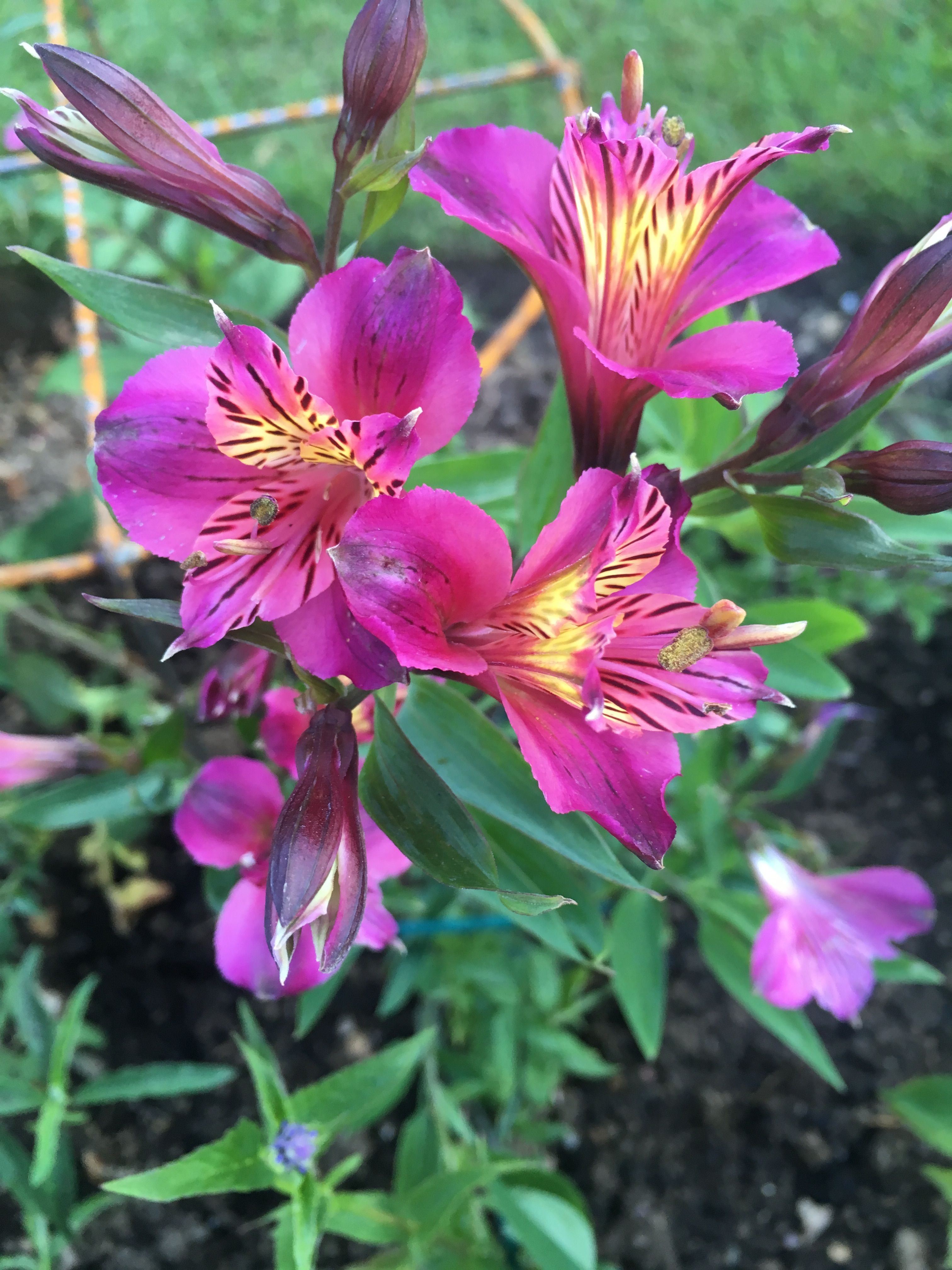 Alstroemeria X 2 From Chenies Mislabelled As Sweet Laura Into Bb3 One Survived Summer 20 Alstroemeria Peruvian Lilies Plants