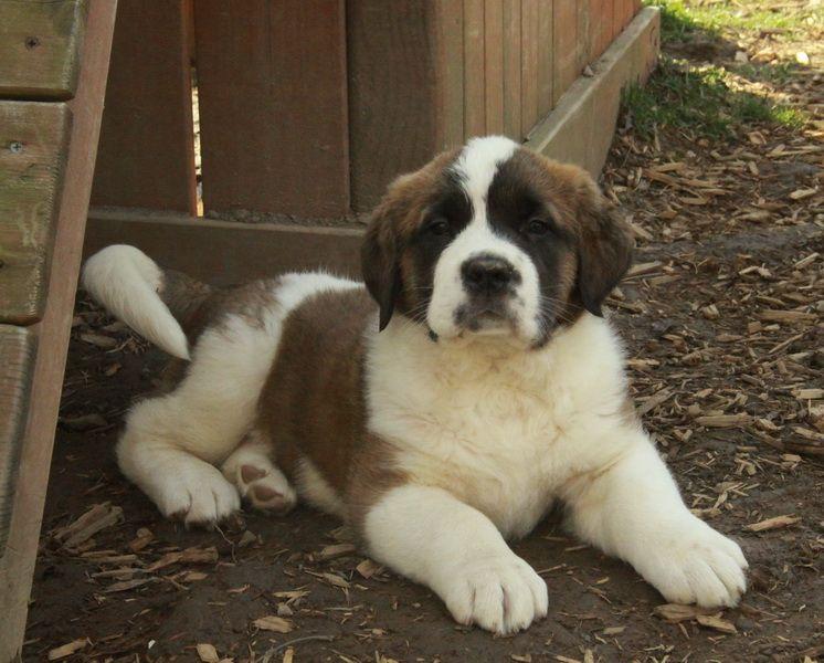 Pets For Sale Saint Bernard Puppies For Sale Curious Puppies