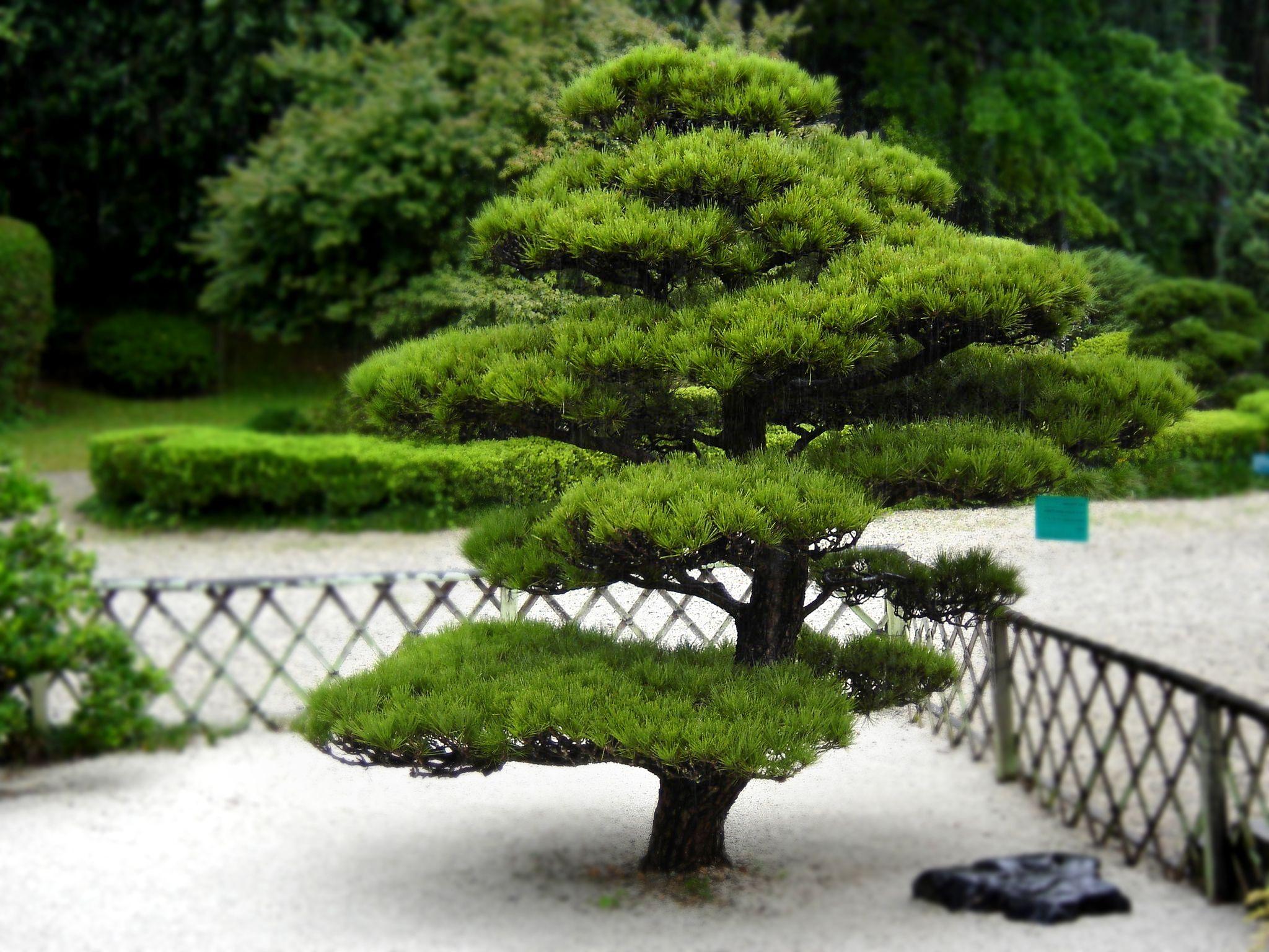 arbuste pour jardin japonais deco maison design. Black Bedroom Furniture Sets. Home Design Ideas