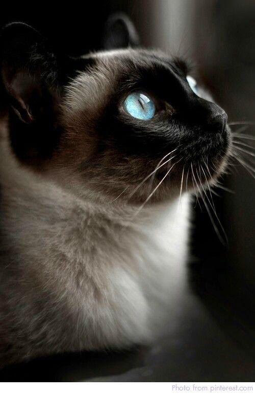 เร องแมว แมว แมวไทยท เหล ออย ในป จจ บ นม สายพ นธ ไหนบ างไปด ก น ตอนท 1 ส ตว สต ฟฟ แมว แมวน อย