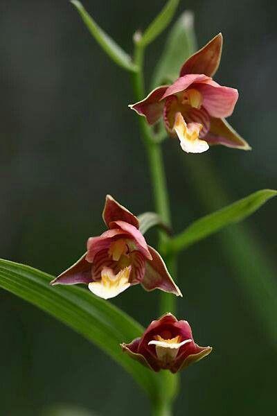 닭의 난초. Wild Orchid.