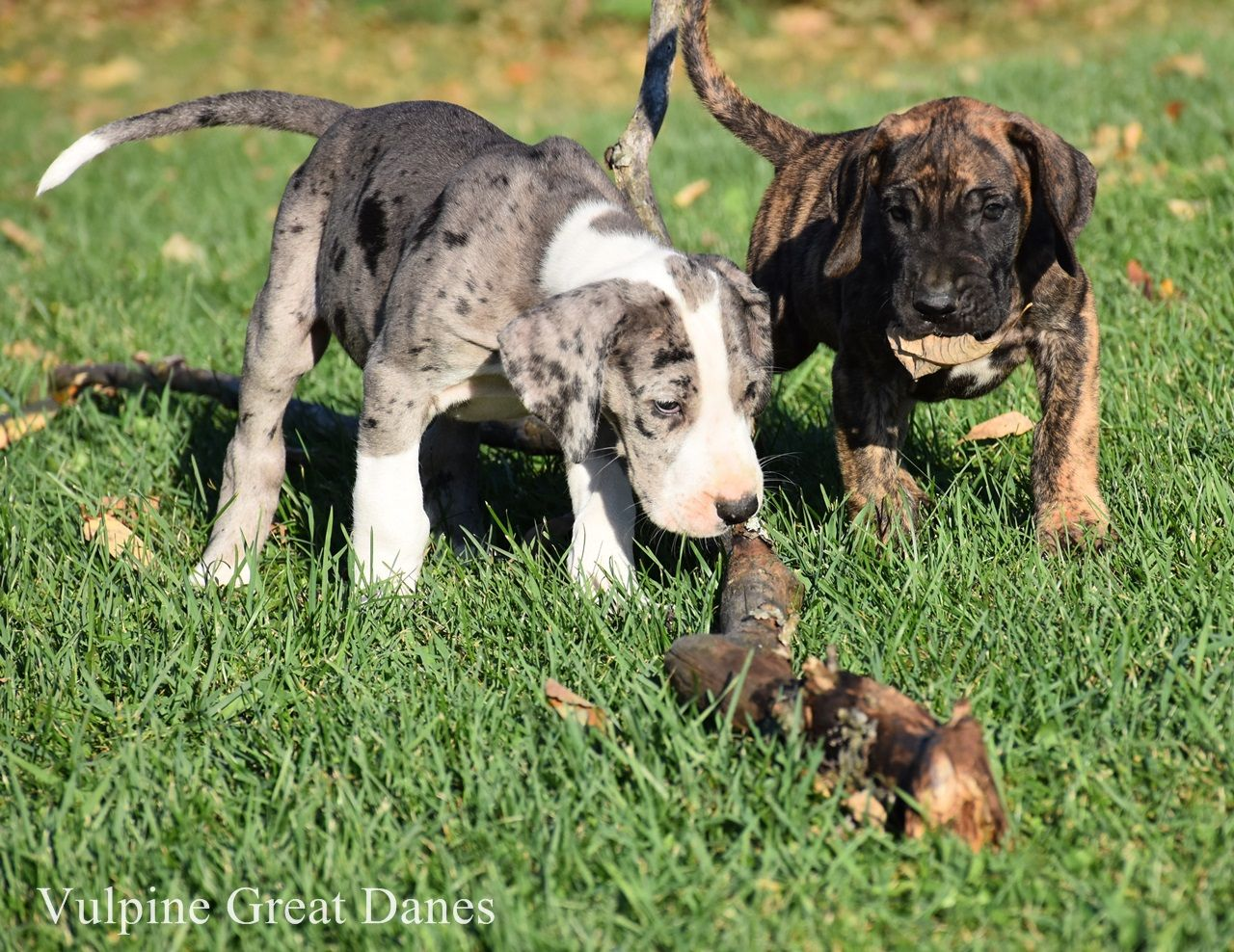 Merle Mantle And Brindle Puppy Great Dane Great Dane Puppy