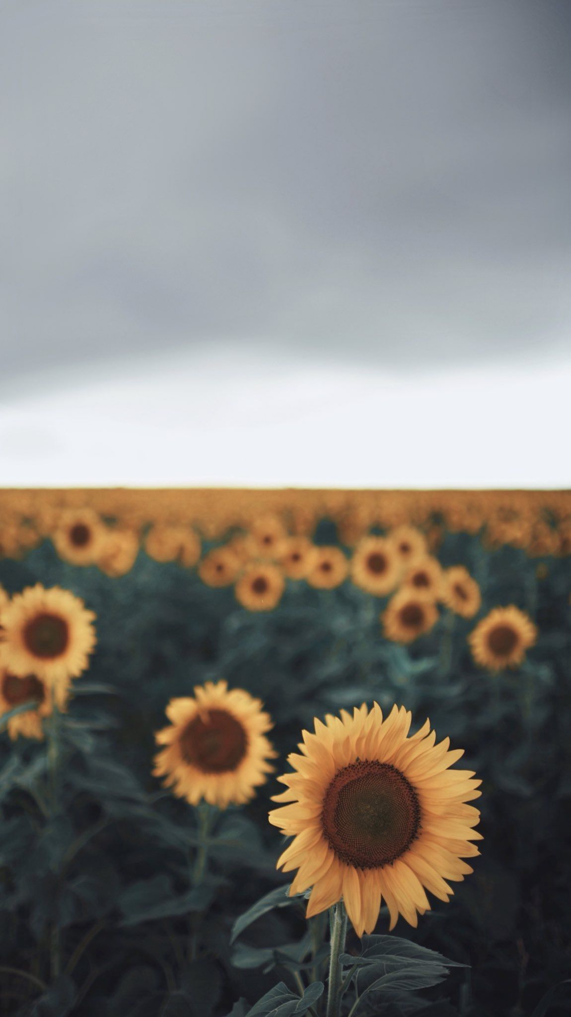 Pin By Claire Fellows On Wallpapers Sunflower Wallpaper Sunflowers Background Tumblr Backgrounds