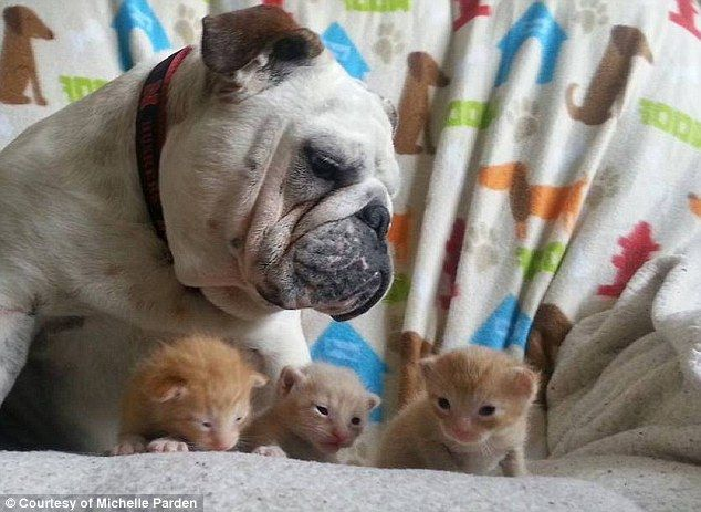 Don T Mess With My Little Sisters Adorable Bulldog Protects His