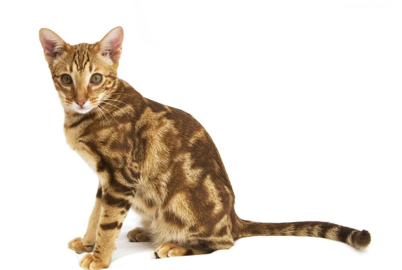 The Ocicat Cat is an all domestic breed of cat which resembles a