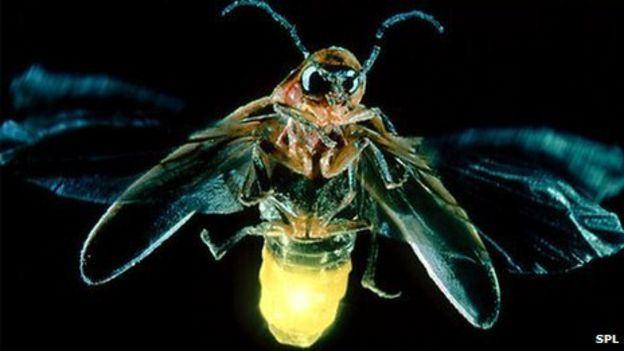 Firefly = The light fantastic: Harnessing Nature's glow - BBC News BBC624 × 360Search by image Dinoflagellates