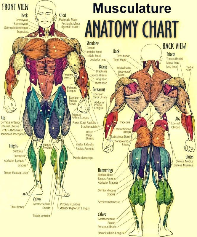 Muscular anatomy. Why couldn't a body builder have came to my anatomy class? Wouldn't made learning the muscles easier. Lol