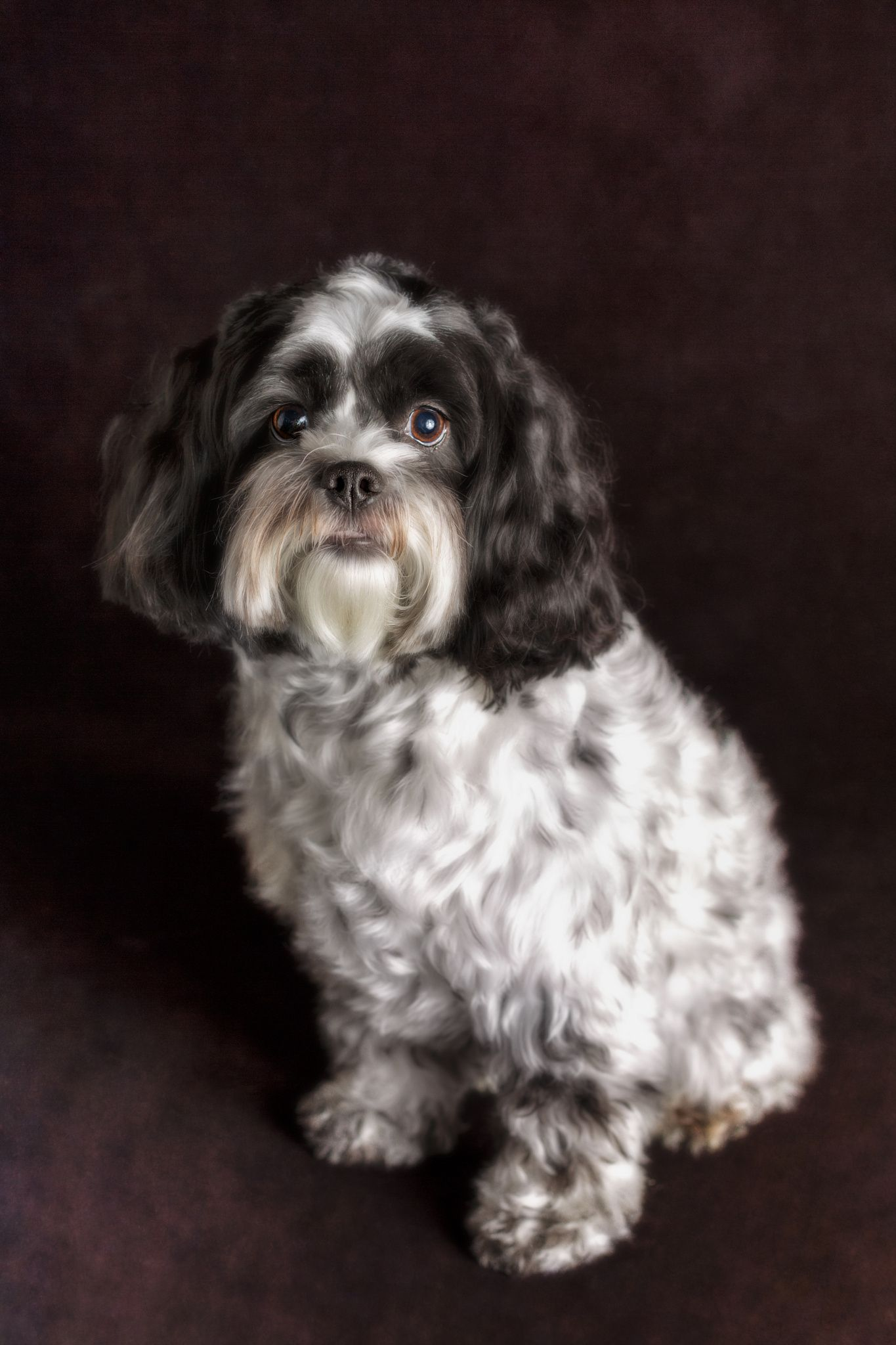 Bella Beautiful Curly Haired Black And White Designer Breed Dog Photographed In Front Of A Dark Background Dog Photograph Designer Breed Dogs