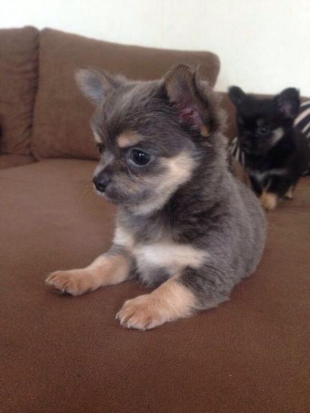 Blue&Tan Chihuahua