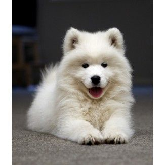 Samoyed Purebred Puppy Male For Sale In Robertson Queensland With Images Cute Puppy Breeds Samoyed Puppy