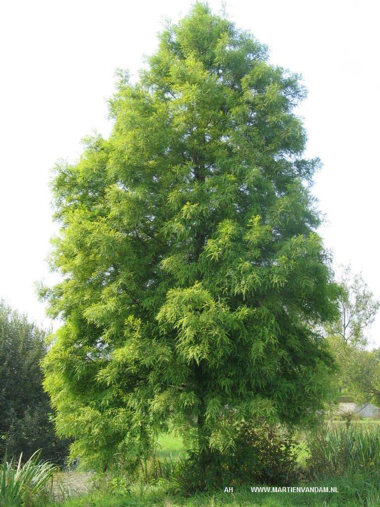 snelgroeiende boom