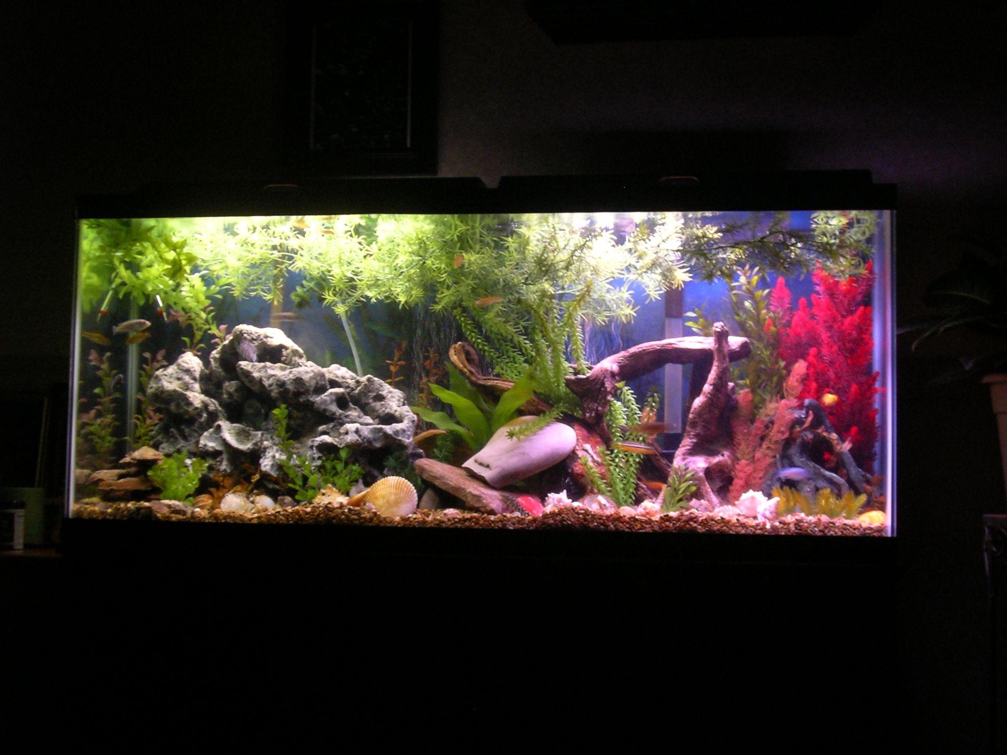 Fish aquarium in chandigarh - 55 River Tank Cichlids Com My 55 Gallon Malawi Cichlid Tank