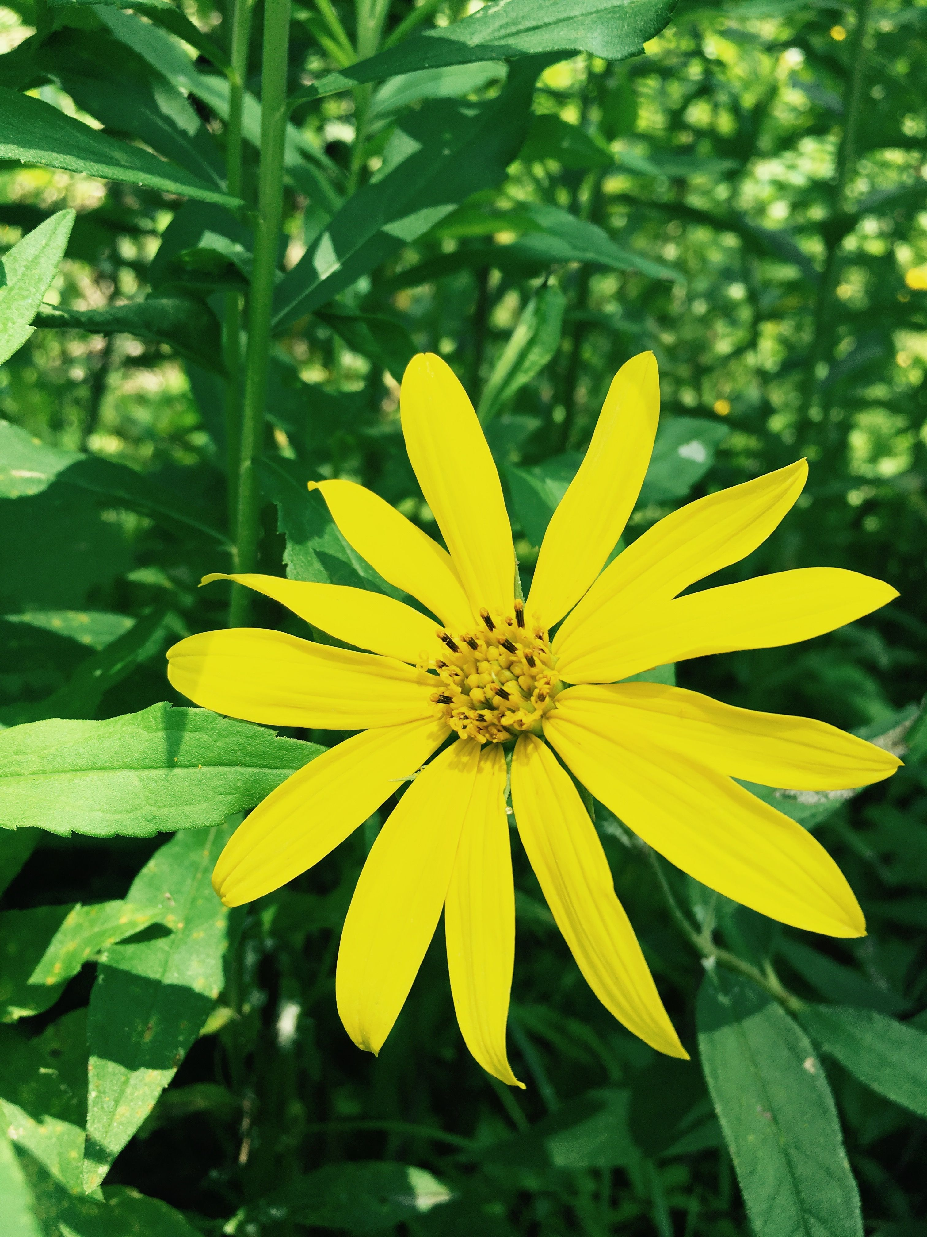 Yellow Daisy Plant Leaves Plants My Pictures
