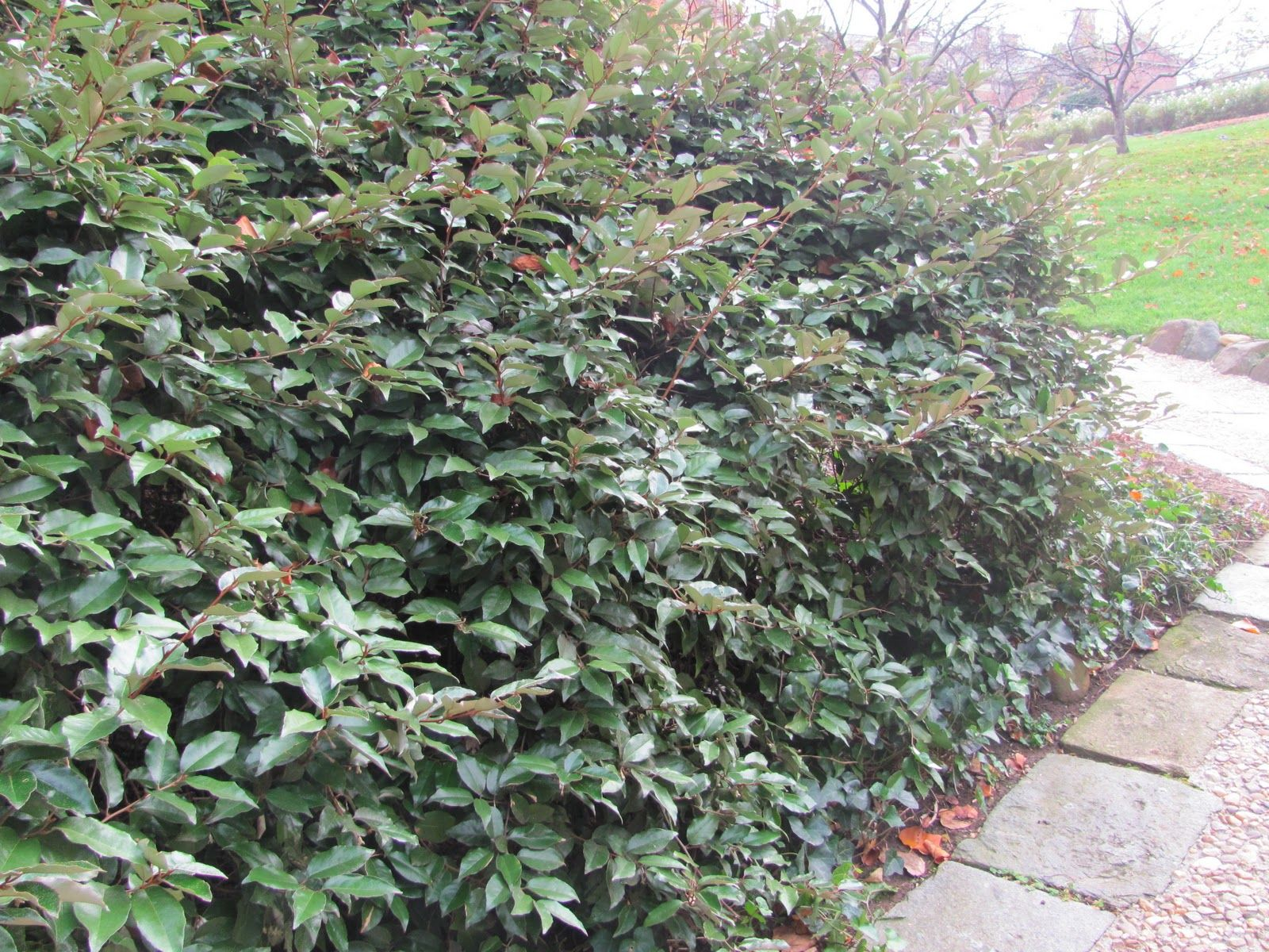 Elaeagnus Densely Branched Evergreen Shrub Creates A Superb Screen, Hedge, Barrier,