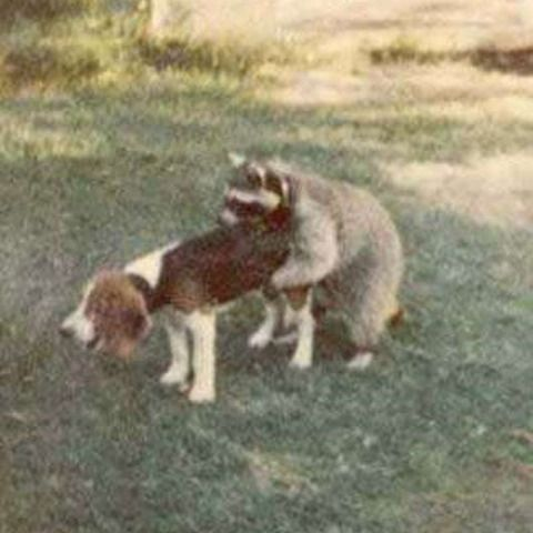 racoon doggy style