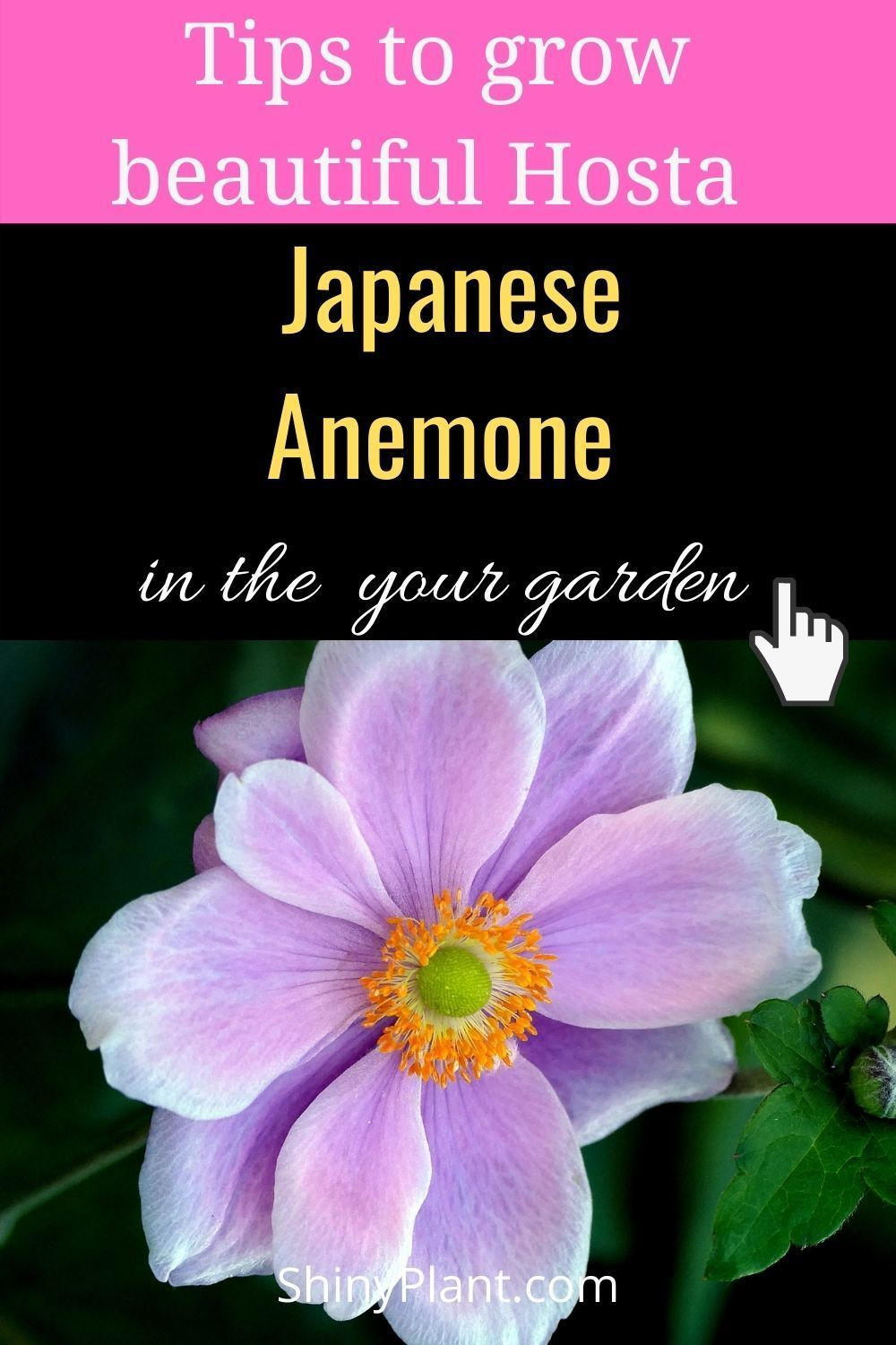 How To Grow Japanese Anemone In The Garden In 2020 Plants Perennial Plants Japanese Anemone