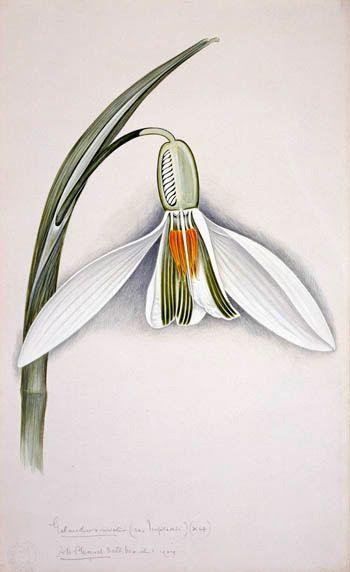 Snowdrop, Galanthus nivalis: Arthur Harry Church (1865 - 1937)  Watercolour, 1904, © Natural History Museum