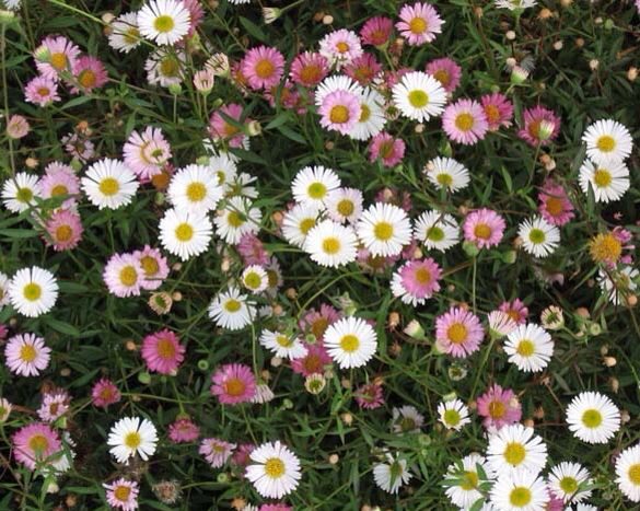 Tiny Daisy Like Flowers Good Edging Plant Self Seeds Into Other Plants Beautifully