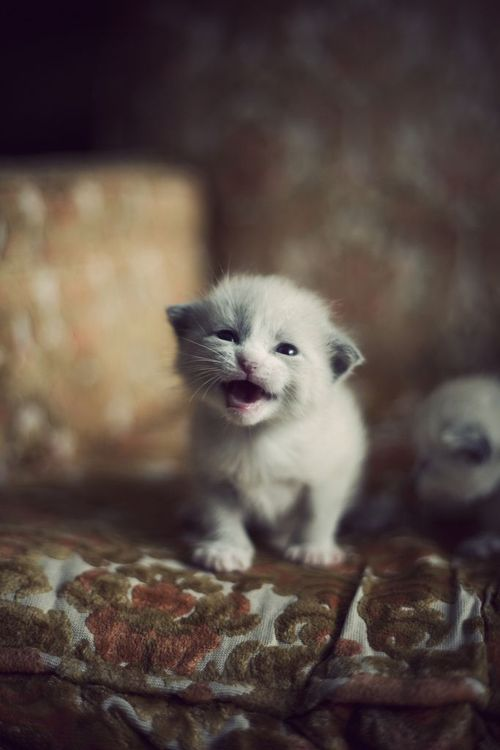 If You Have Ever Heard A Newborn Kitten Mewling For Their Mom