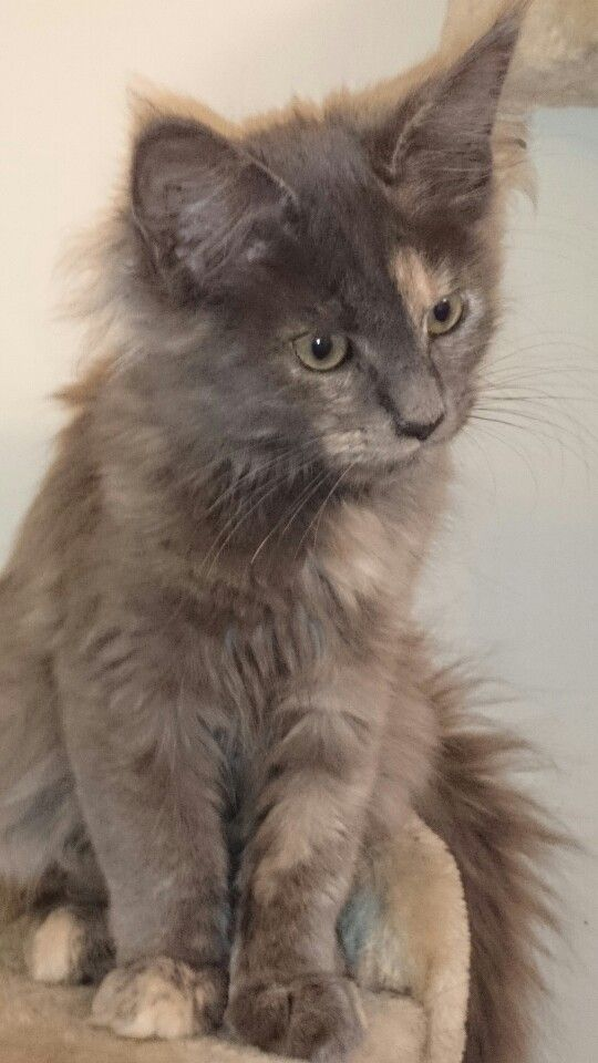 Maine Coon kitten - Quinto