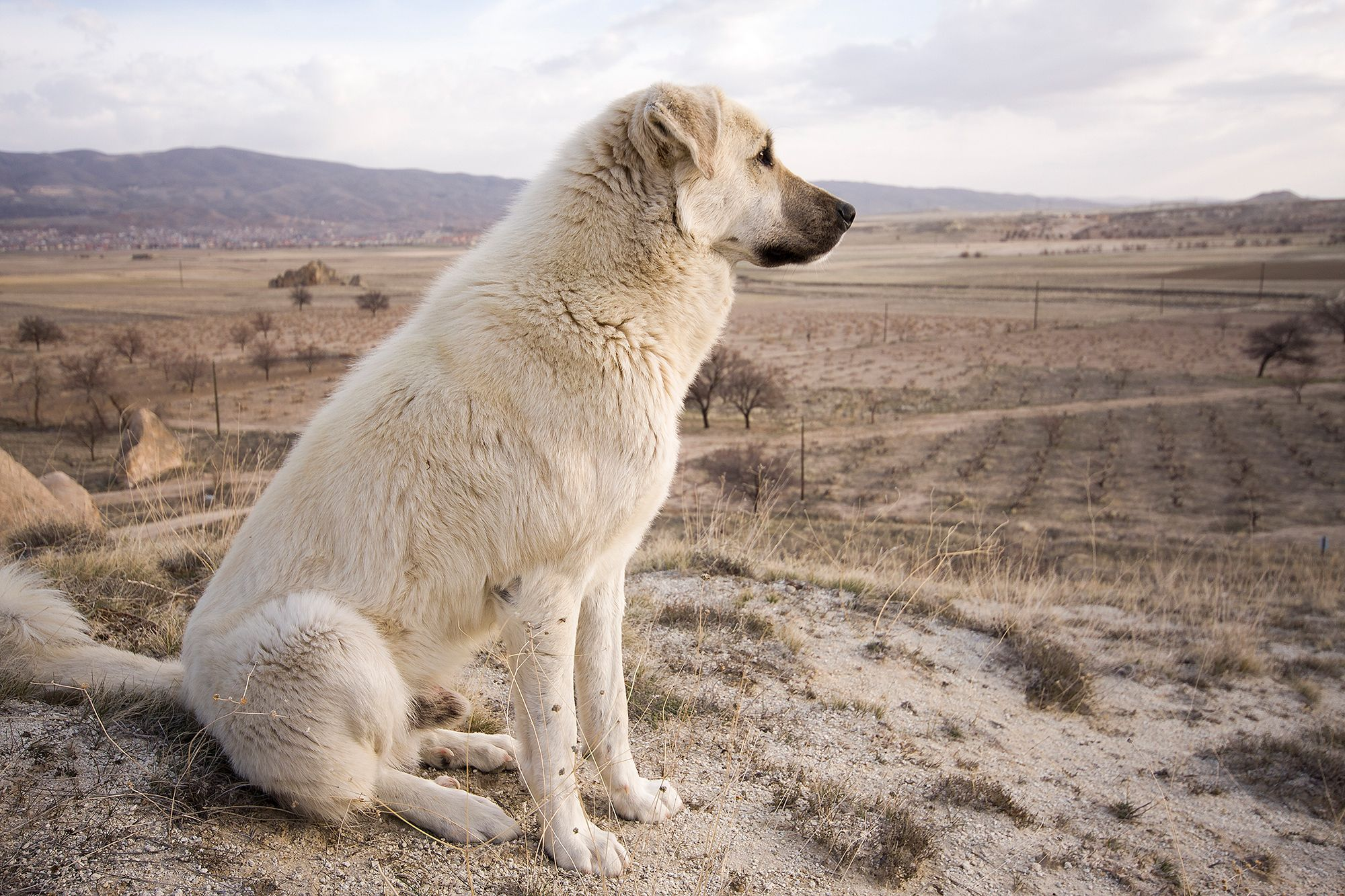 Meet The Dog Breed That S No 1 Most Likely To Run Away Kangal