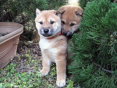 Shiba Inu 山陰柴犬 | Shibainu | Pinterest | Shiba, Akita and Dog