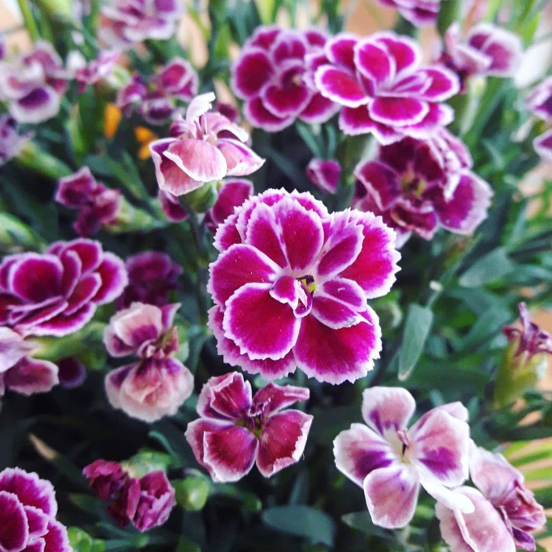 Maz Mnie Rozpieszcza Kwiaty Kwiat Flowers Blumen Nelken Nelke Roslina Plant Pflanze Roz Rozowy Pink Pinkflower Prezent Up Plants Rose Flowers
