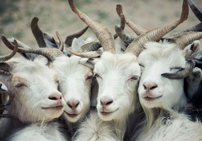 Дню свадьбы, прикольные картинки коз