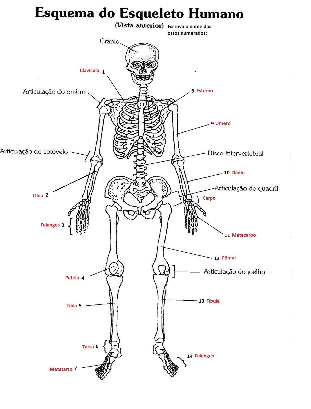 Asombroso La Vista Anterior Esqueleto Humano Galería - Imágenes de ...