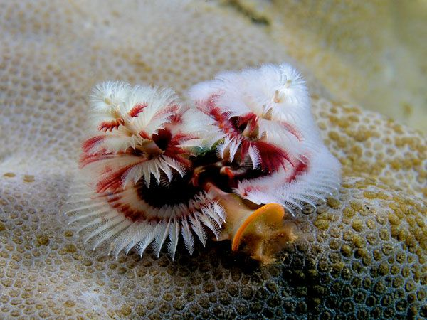 The Christmas Tree Worm Decorating Coral Reefs Year Round Weird Sea Creatures Deep Sea Creatures Weird Animals