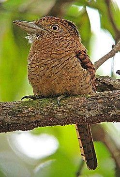 Barred Puffbird, Occurs in forests in the Tumbes-Choco-Magdalena of Panama, Colombia & Ecuador (Pete Morris)