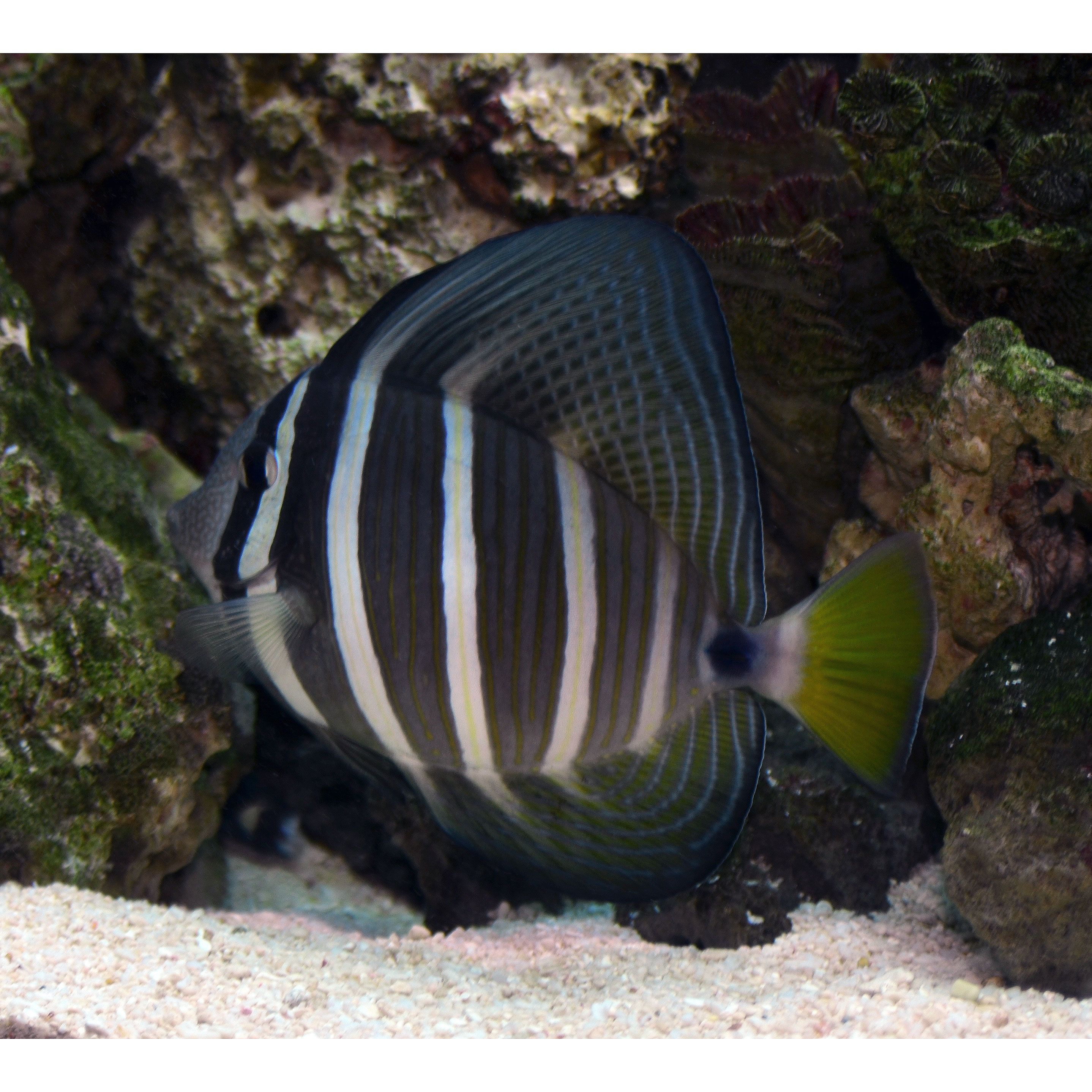 Sailfin Tang From My Aquarium This Beautiful Creature Is One Of My