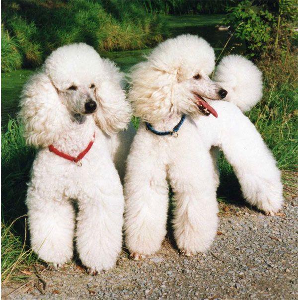 White Miniature Poodles Poodle Wikipedia The Free Encyclopedia Bichon Maltes Mini