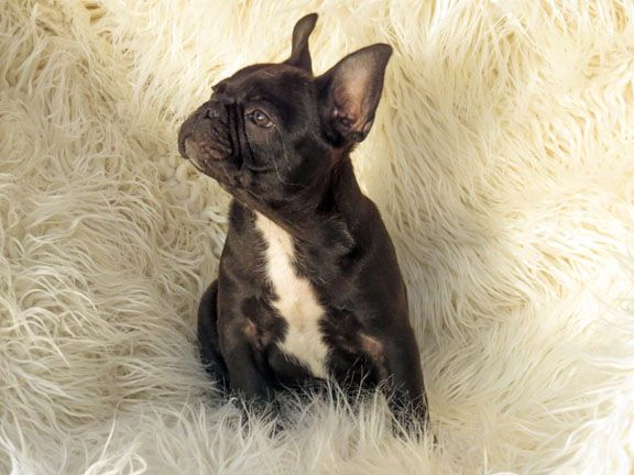 French Bulldog Puppies For Sale In Los Angeles French Bulldogs In Los Angeles Bulldog Puppies Bulldog Puppies For Sale French Bulldog