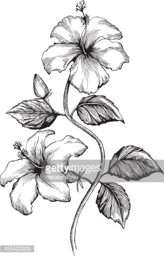 Hibiscus ink style vector drawing love pinterest - Dessin d hibiscus ...