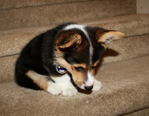 Stairs Are Mean Funny Stuff Corgi Funny Corgi Cute Animals