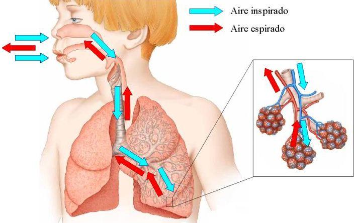 Proceso De Inspiración Y Espiración Al Inspirar Y Espirar Realizamos Ligeros Movimi Sistema Respiratorio Sistema Respiratorio Humano Sistemas Del Cuerpo Humano