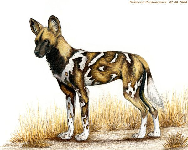 Dont cry wolf african wild dog
