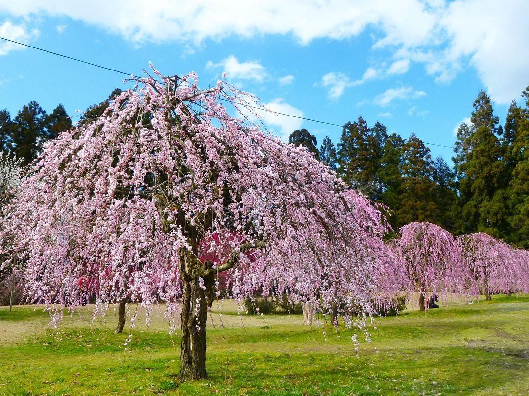 [New] The 10 All-Time Best Home Decor (in the World) -  田上町田上町梅林公園 写真4枚 2019年3月24日(日)  #田上梅林公園#田上町#はなまっぷ#写真好きな人と繋がりたい#私の花の写真#梅#お花見#日本の風景#春#花#フラワー#しだれ梅#flower#flowers#ume#plum#plumblossom#total_flowers#gataphoto#niigatapic#niigatagram#photo_jpn#bestjapanpics#flowerstagram#deaf_b_j_#ig_japan#bestphoto_japan#wp_flower#wu_japan#niigata  しだれ梅 紅梅 白梅  青空のチャンスを逃しません 梅3箇所はしご笑