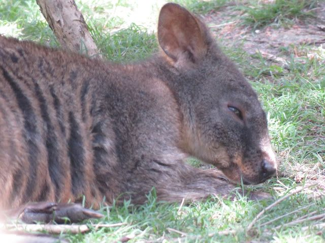 Wallabies Moonlit Sanctuary Pearcedale Victoria Australia Bird Photo Bird Photography Animals
