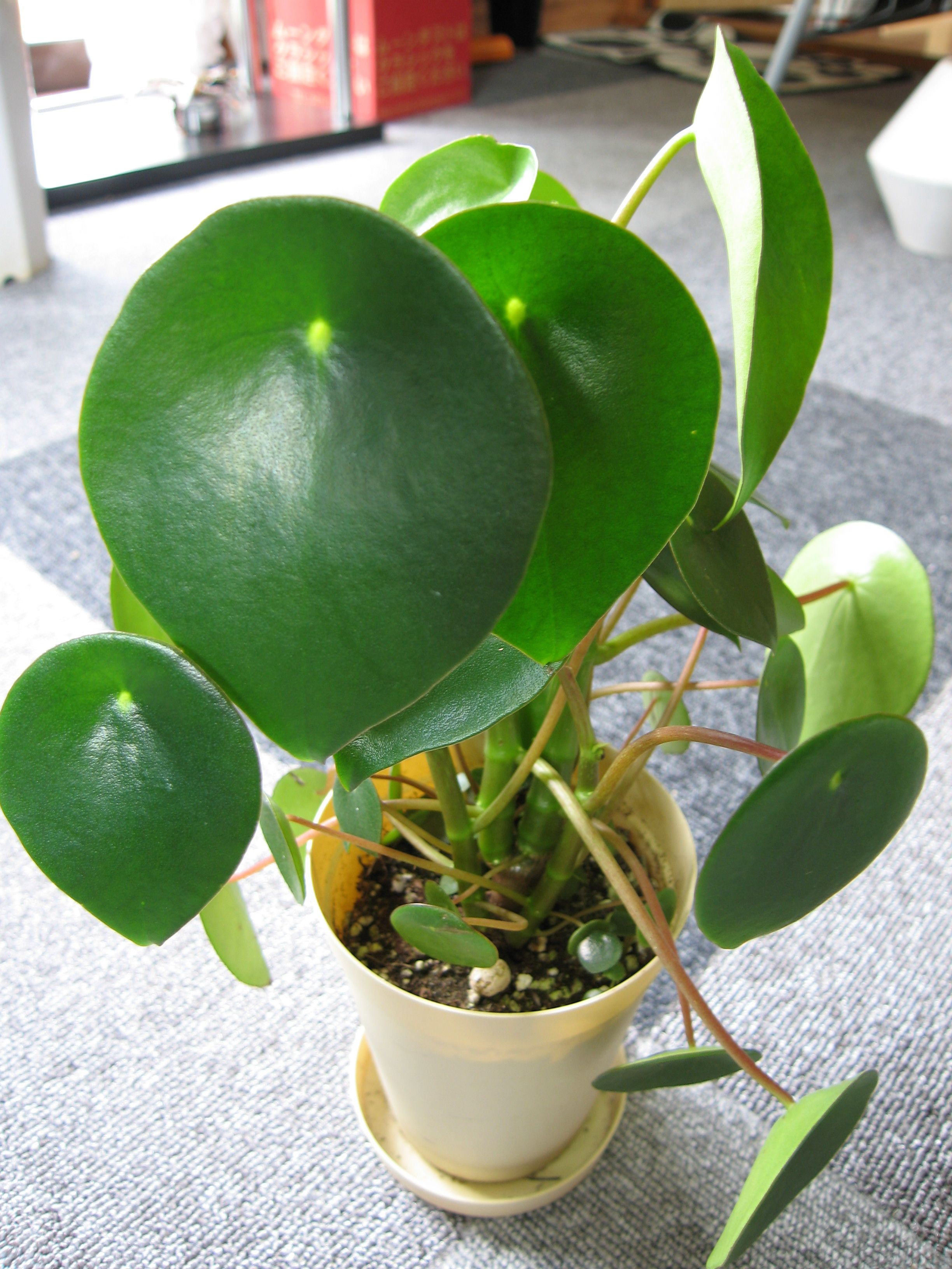 Inside Plants Peperomia Jayde Plant Love Pinterest Plants