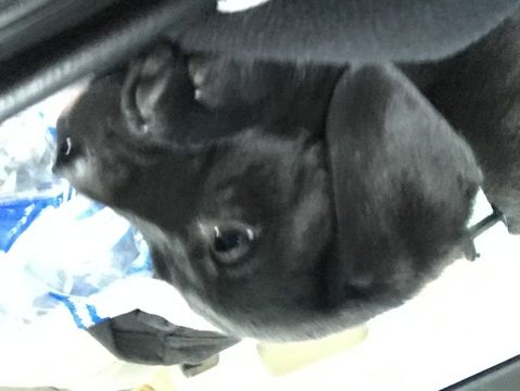 Labrador Retriever Puppy For Sale In Saint Augustine Fl Adn