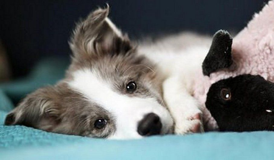 Jonah The Border Collie Puppy With His Lamb Toy Border Collie Puppies Collie Puppies Puppies
