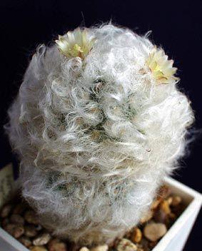 Mammillaria bocasana - Google Search