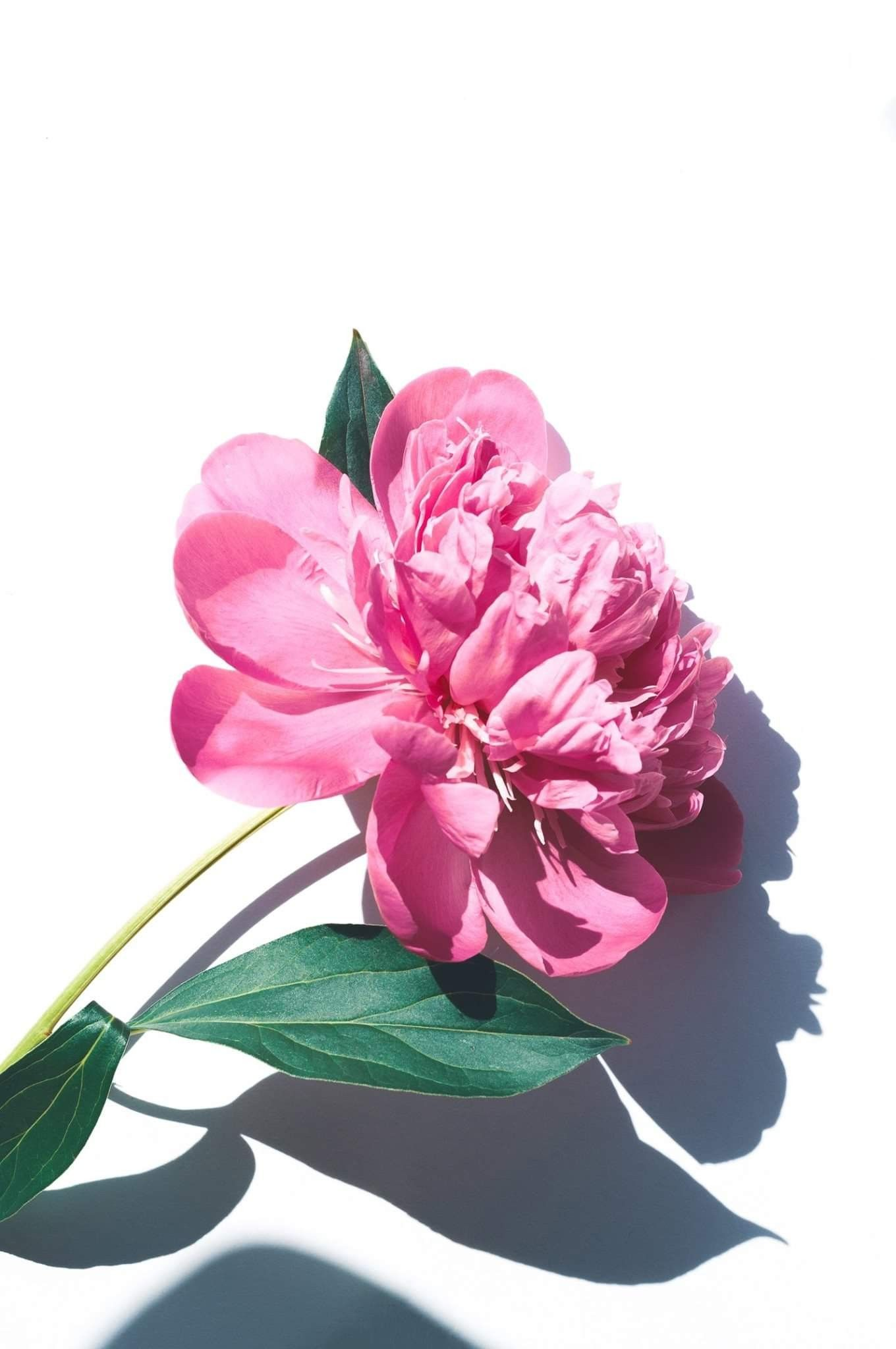 Pin by Pearl Aranda on Beautiful Roses Pink flowers