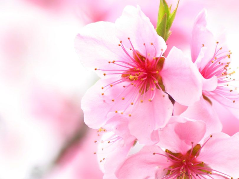 Cherry Blossom Pink Flowers Picture And Photo Imagesize 98 Kilobyte Cherry Blossom Flowers Pink Flower Pictures Flower Pictures