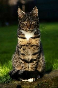 dark tabby cat  tabby cat beautiful cats kittens