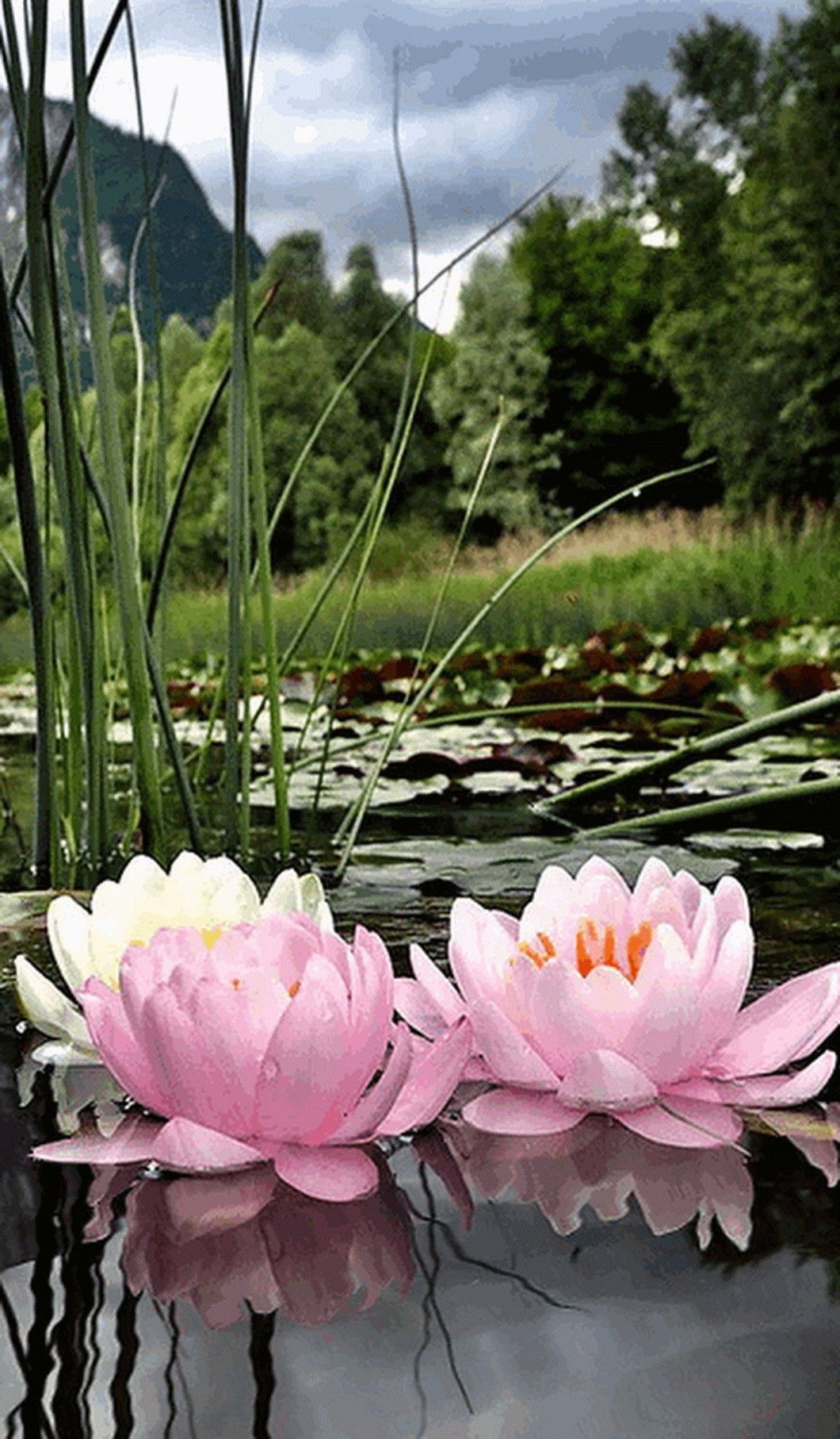 Pin By Faria Khan On Gift Pinterest Flowers Water Lilies And Plants