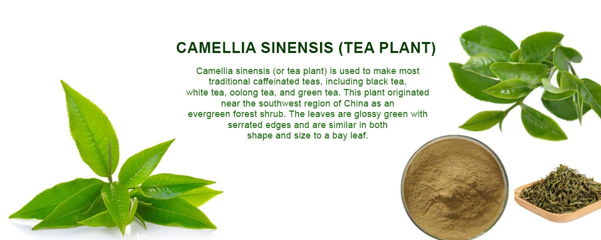 Camellia Sinensis Tea Plant Caffeine In Tea Oolong Tea