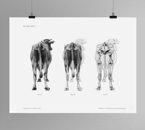 Cow and Bull HD Print Das Rind Tafel V Anatomy Handbuch der Anatomie ...